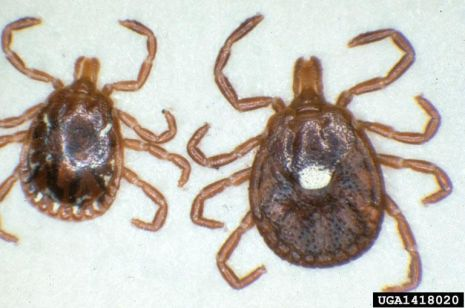 Lone star tick: male on left and female on right.