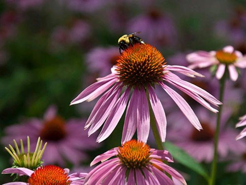 This bee, a pollinator, is hard at work on this purple coneflower (echinacea) at Garvan Woodland Gardens in Hot Springs.