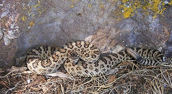 The great basin rattlesnake (Crotalus lutosus), one of six new unique species identified by University of Arkansas biologists and their colleagues