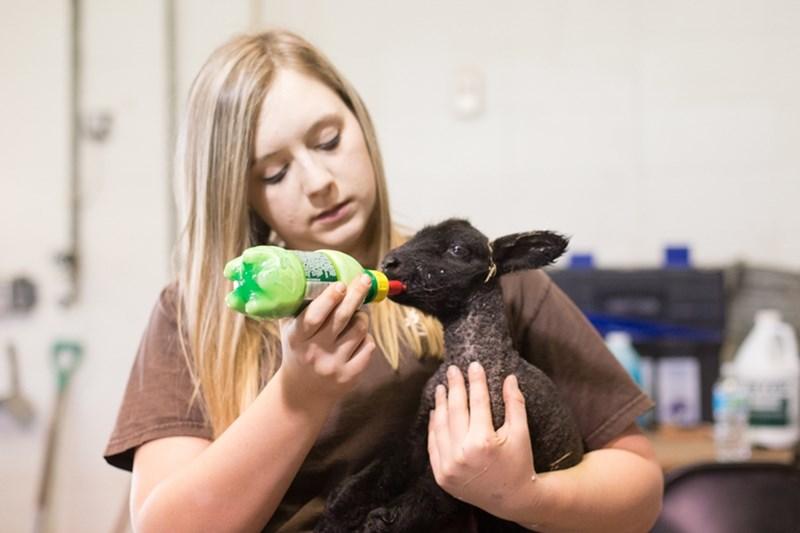 Graduate student Melanie Hays feeds milk to a newborn lamb.