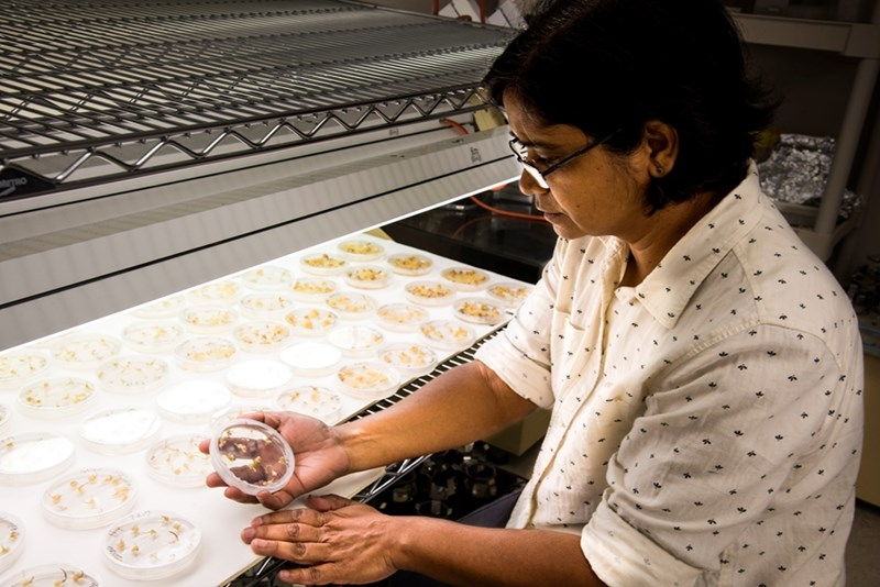 Vibha Srivastava induces sprouting in gene-edited rice plant tissue cultures.