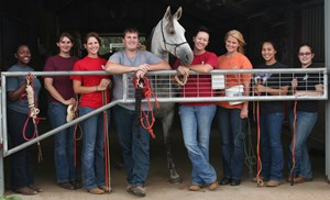 Students from one of two Equine Behavior and Training labs, above, and from the Horse and Livestock Merchandising class plan and conduct the Razorback Roundup.