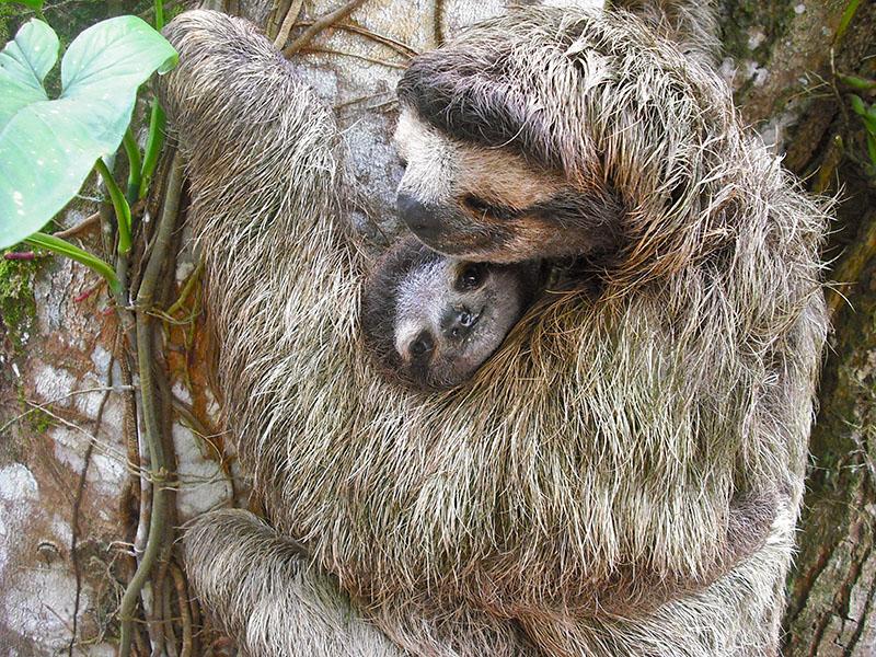 Photo of sloth.