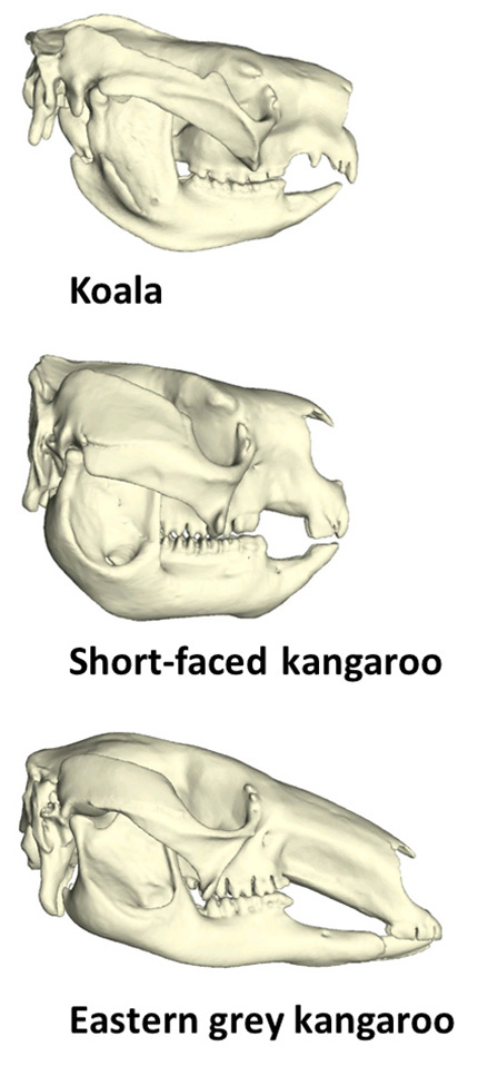 Drawings comparing the skulls of a koala, short-faced kangaroo and a modern kangaroo.
