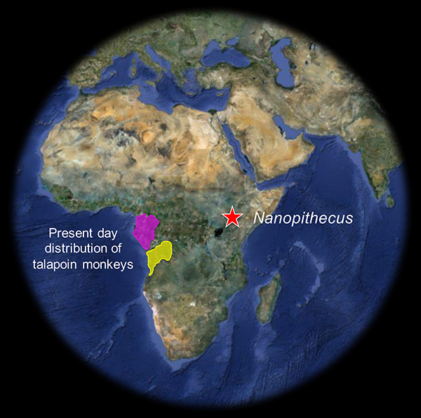 Map showing Africa and the site of Nanopithecus in eastern African and the present range of talopin monkeys in western Africa.