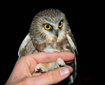 In late November, University of Arkansas wildlife biologists caught this bird, the first northern saw-whet owl captured in Arkansas.