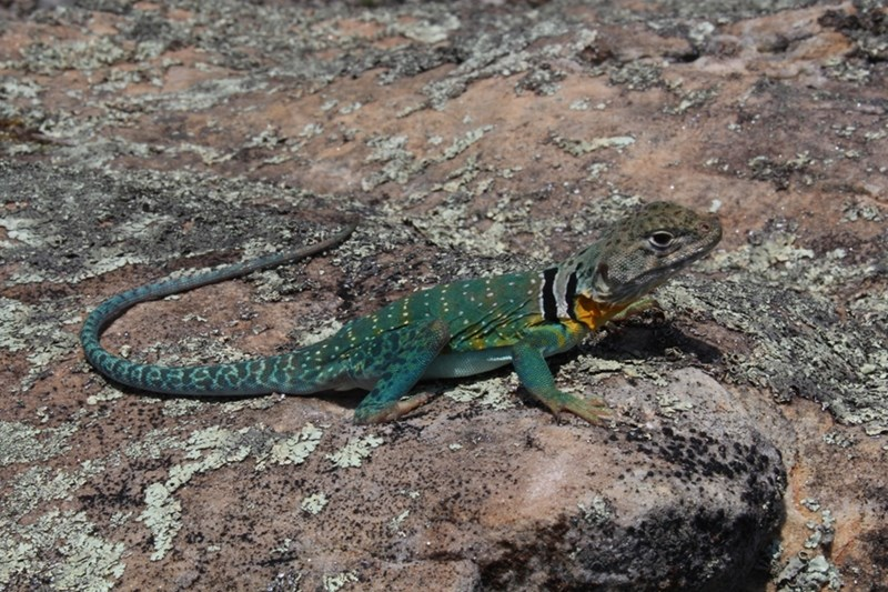 The eastern collared lizard is a threatened species in Arkansas.