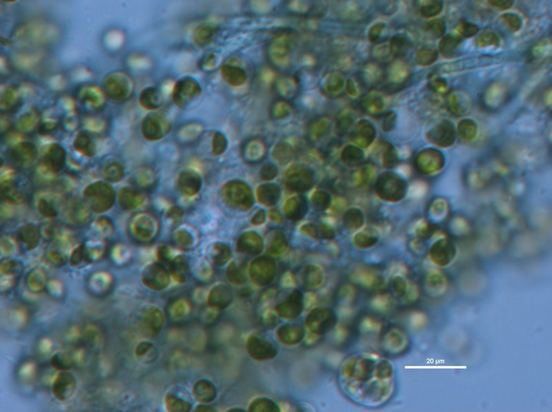 Chlorella vulgaris algae grown in waste water