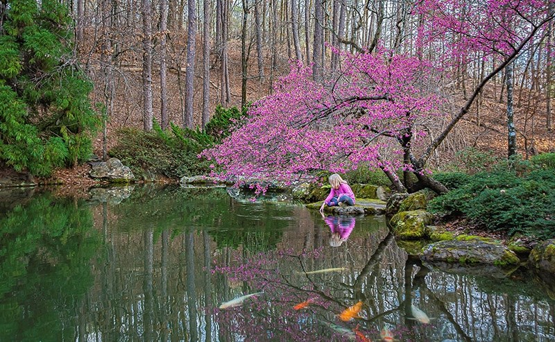 In early spring, this is one of the first trees to bloom at the koi pond at Garvan Woodland Gardens.