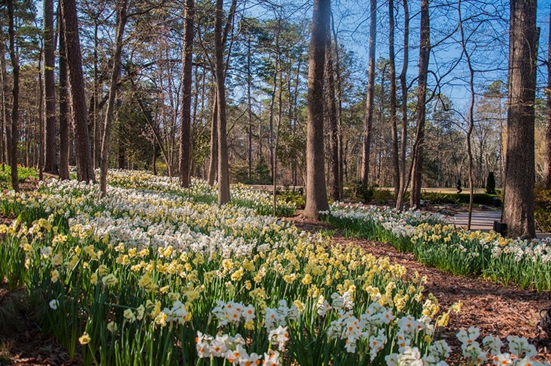 Daffodils are among the first of the spring flowers to bloom at Garvan Woodland Gardens.